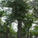 15公分栾树图片