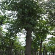 5公分栾树图片