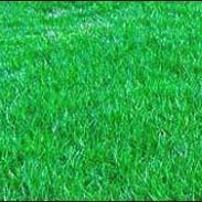 高羊毛草坪价格查询图片
