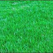 高羊毛草坪价格图片