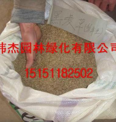 黑麦草图片/黑麦草样板图 (3)