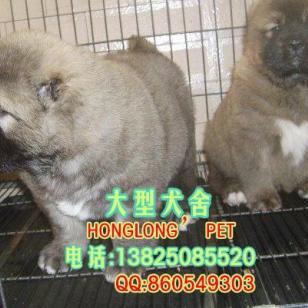 广州哪里有卖高加索广州高加索犬图片