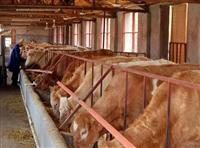 河南哪里有卖小肉牛的≠小牛饲养方法图片