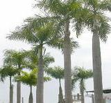 供应海南哪里有大王椰出售