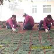 台湾草供应商图片