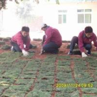 供应台湾地毯草