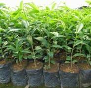 湘州白木香苗价格图片