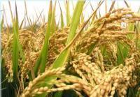 供应葡萄籽提取物/黃芪提取物