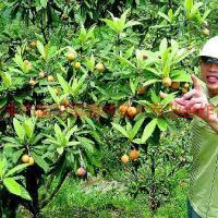 基地直销枇杷树苗,常年出售枇杷树,枇杷绿化苗木