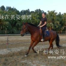 供应广州马术培训骑术培训、休闲骑马,售、租马匹,销售马用品、骑士用品