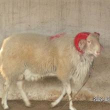 供应羊肉羊波尔山羊怀孕母羊