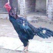 斗鸡养殖场斗鸡苗养殖场图片