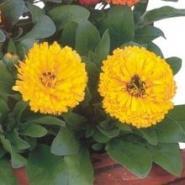 金盏菊种子批发图片