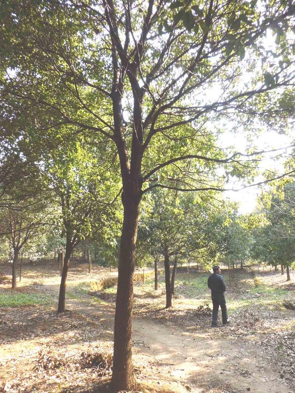 供应乔木香樟树