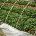 红薯苗地瓜苗图片