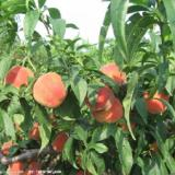 供应用于饮料|果蔬汁|糖果的浓缩水蜜桃汁,糖度70+,纯天然
