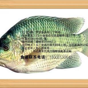 2015四川罗非鱼苗批发供应价格图片