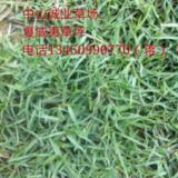 广东夏威夷草皮、种植、基地、批发【广东成业草坪种植基地】