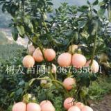 供应用于农业生产良种的广西三红蜜柚苗、广西三红蜜柚苗价