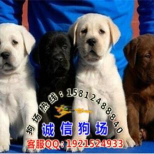广州导盲犬大概价格多少钱一只图片