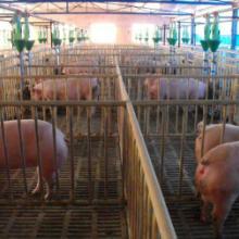 供应三元优质仔猪