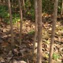 供应桂林白沙地径2公分到米经10公分桂花树