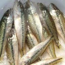 供应川西鲈鱼苗,川西鲈鱼苗批发价,川西鲈鱼苗销售电话