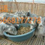 供应波尔山羊养殖可行性分析报告