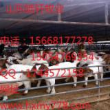 供应山东波尔山羊养殖场波尔山羊