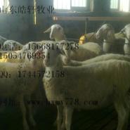 鲁西南小尾寒羊养殖场图片
