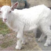 供应小尾寒羊供应批发,小尾寒羊供应批发价格
