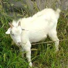供应白山羊,白山羊价格,白山羊供应,白山羊批发批发