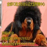 大型犬藏獒图片