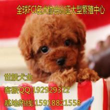 广州哪里有卖泰迪熊 广州哪里买狗比较纯种