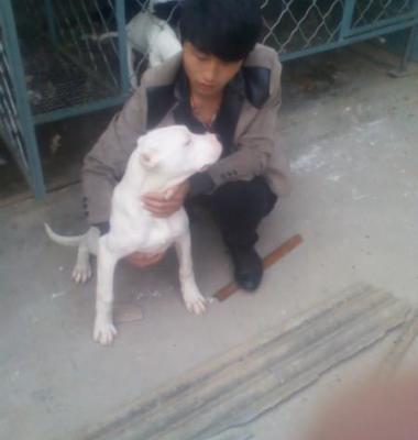 哪里有卖杜高犬的图片/哪里有卖杜高犬的样板图 (2)