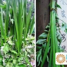 供应新鲜芦苇叶,新鲜芦苇叶供应,新鲜芦苇叶销售,新鲜芦苇叶价格批发