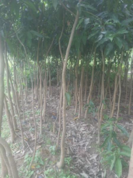 供应芒果树2至3公分地苗、大量供应芒果树2至3公分地苗高2米左右。