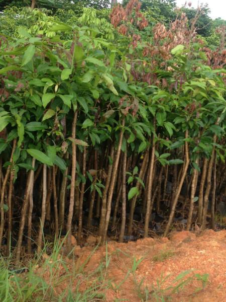 供应哪里有芒果树袋苗卖、供应芒果树小苗高20至1.5米高