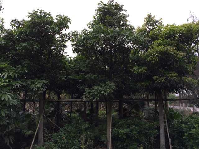 供应秋枫哪里有卖、哪里的秋枫最便宜、秋枫一颗多少钱。