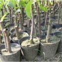 莲雾苗种植园图片