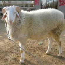 供应各种肉羊批发