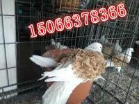 供应马头鸽价格