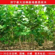 江苏连云港5公分法桐价格图片