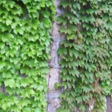 供应优质藤本植物常青藤扶芳藤 爬山虎陕西藤本植物大量低价供应 图片