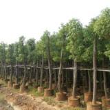 供应福建香樟20分假植苗低价香樟马口香樟公路用苗(福建香樟基地)