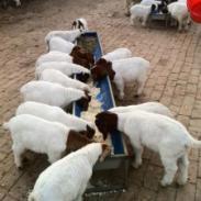 波尔山羊羊舍建设图图片