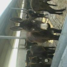 供应江西萍乡肉驴的价格,德州驴的价格,关中驴的报价批发