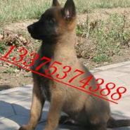 沈阳2-3个月的比利时马犬有卖的吗图片