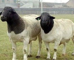 安徽小尾寒羊种羊图片
