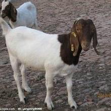 供应纯种波尔山羊